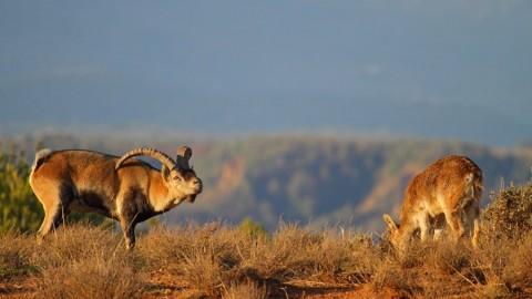 Photograph the Spanish goat in Sierra Nevada