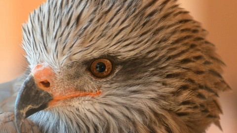 Participate in conservation of the Iberian imperial eagle